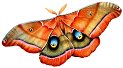 Energize & Arouse with Male Silk Moth